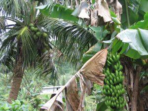 そこ此処にバナナの木