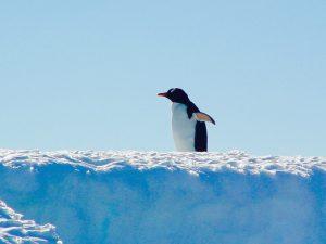 南極大陸のペンギン